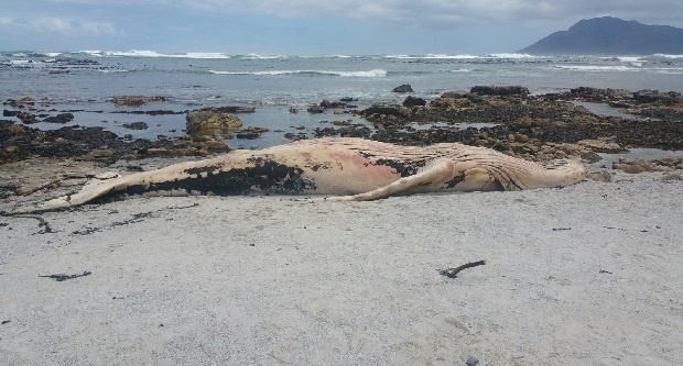 Dead whale washes up on South African beach