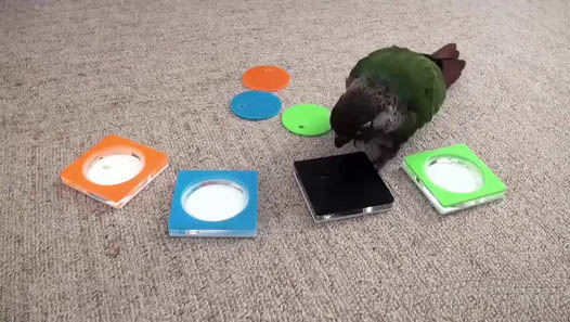 Very Clever Parrot