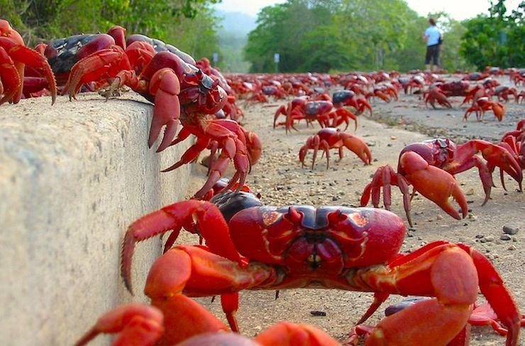 Watch millions of crabs migrate
