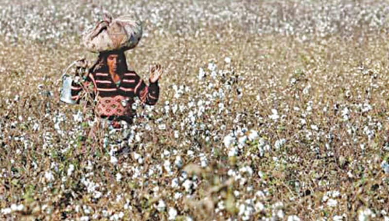In a historic low, cotton production drops by 34pc