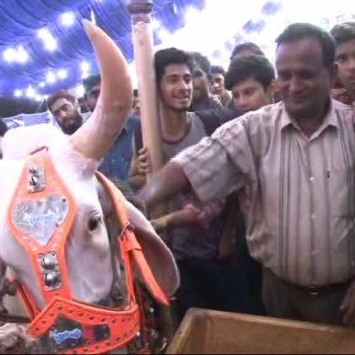 سما کی رپورٹر کی مویشی منڈی سے مزاحیہ رپورٹنگ