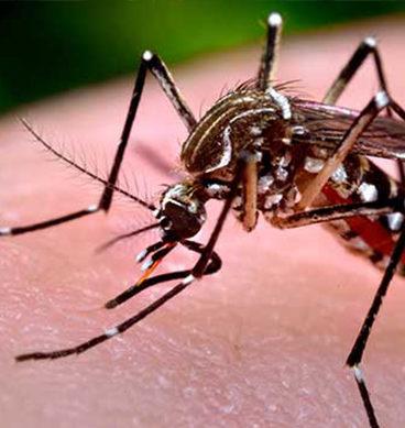 ایڈیس ایگیپیتی وہ مچھر جو چیکنگنیا پھیلا رہا ہے