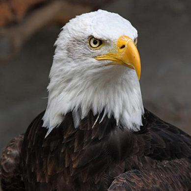 عقاب جب بوڑھا ہوجاتا ہے تو دوبارہ جوان ہونے کیلئے کیا کام کرتا ہے