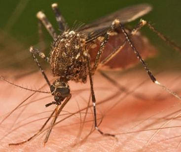 مچھر کے کاٹے سےضلع خیبر میں لیشمینیا وبائی صورت اختیار، 25 ہزار مریض