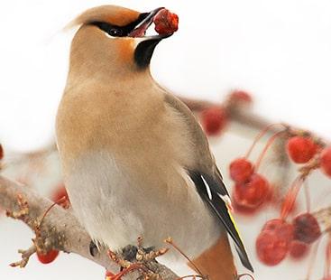 امریکہ میں پرندے بھی شرابی ہونے لگے