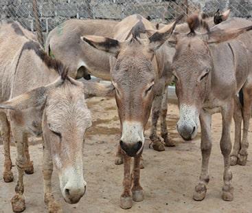 خیبرپختونخوا میں گدھوں کے فارمنگ اور تجارت کو فروغ دینے کا فیصلہ