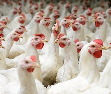 کراچی میں مرغیوں کی فیڈ میں مہلک دھاتوں کی موجودگی کا انکشاف