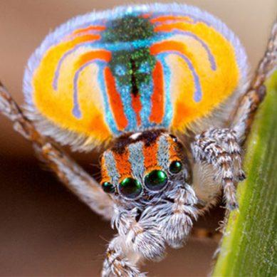 رنگ برنگی اور مختلف انداز سے ڈانس کرنے والی مکڑی دریافت