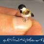 دنیا کا سب سے چھوٹا پرندا صرف دو گرام کا ہے