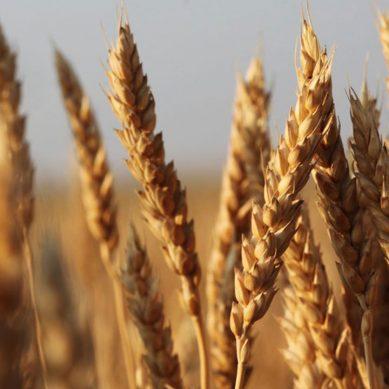 گندم پر لگی 60 فیصد ڈیوٹی ختم کر دی گئی