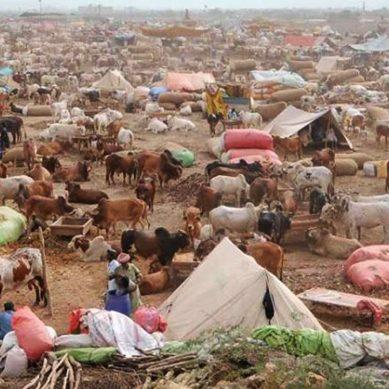 سندھ حکومت کا صوبے بھر میں مویشی منڈیوں کی اجازت دینے کا فیصلہ
