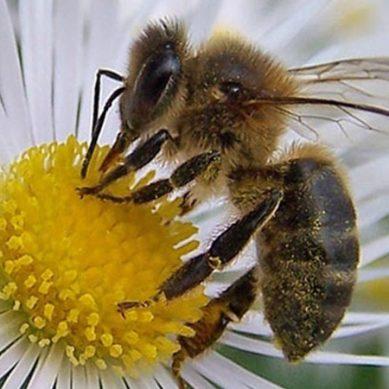 شہد کی مکھی میں چھپے صحت کے راز