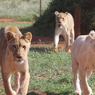 پالتو شیر باہر نکل آئےِ،آج شیروں کا برا دن ہے