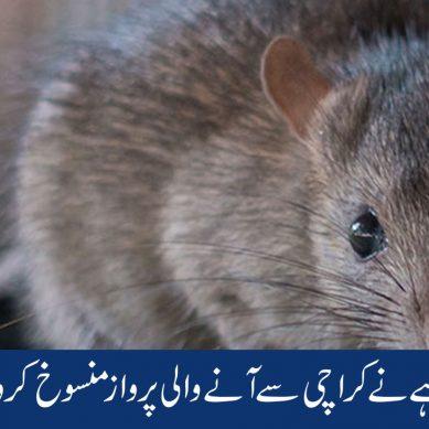 چوہے نے کراچی آنے والی پروز منسوخ کروادی