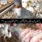 پاکستان میں مرغی کی بڑھتی قیمتیں، اصل حقیقت کیا ہے ۔۔؟؟؟