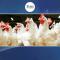 مرغی کی قیمتوں کو ایک بار پھر پر لگ گئے۔۔