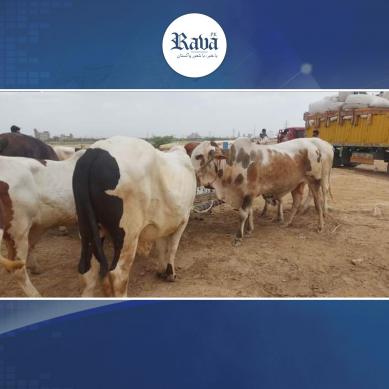 کراچی والوں ہوجاؤ تیار،ایشیاء سب سے بڑی مویشی منڈی سج گئی
