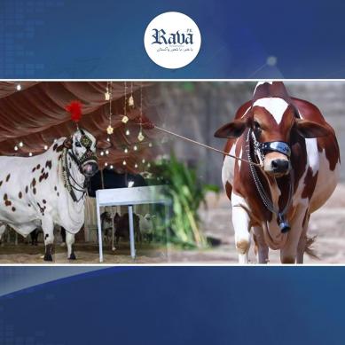 عید قرباں: مویشی منڈی میں رونقیں اپنے عروج پر پہنچ گئیں۔۔