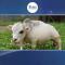 وائرل ویڈیو : دنیا بھر میں بونی گائے کی دھوم