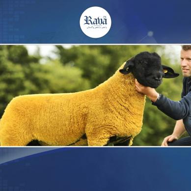 sheep1 389x389
