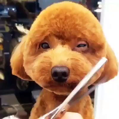 Trimming Dog's Hair