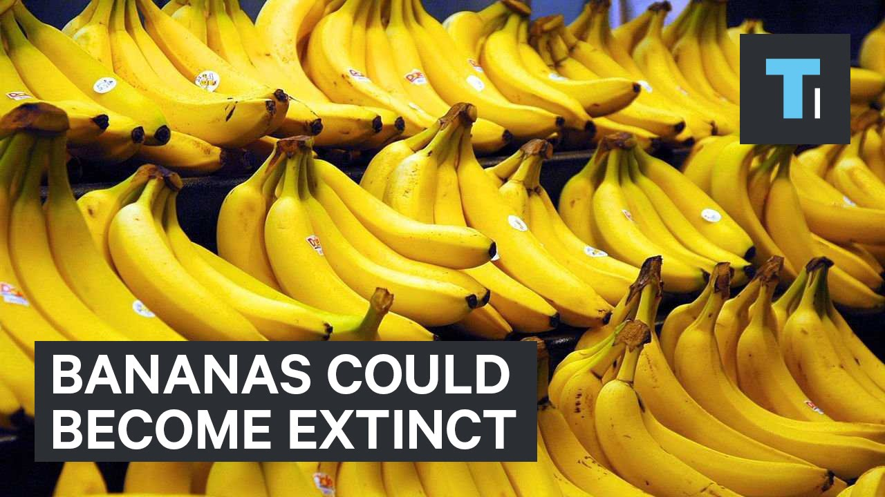 Bananas Could Become Extinct