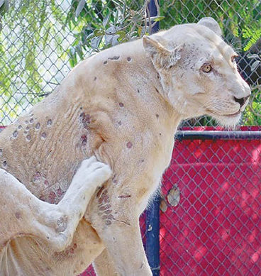 Mysterious Skin Infection Ails Big Cats At Karachi Zoo