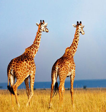 Giraffes Facing Extinction