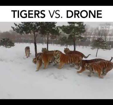 Tiger vs Drone