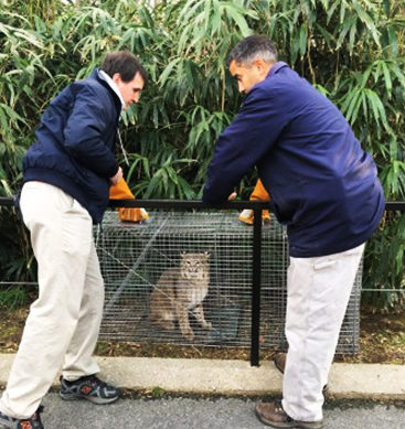 Missing Bobcat Found In Zoo Property