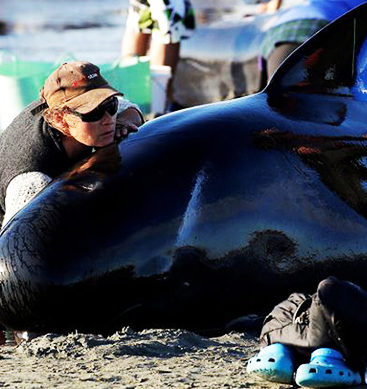 New Zealand Volunteers In Race To Rescue Hundreds Of Whales