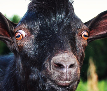 Why Goats Have Weird Eyes?
