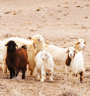 Turning Goats Into Water: A solution For The desert