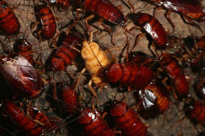 The 6,000 million cockroaches that China grows in giant farms every year