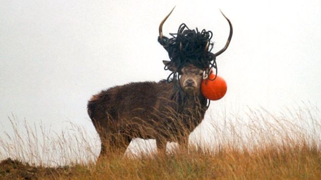 The disturbing image of a deer with a rope and a buoy on its antlers