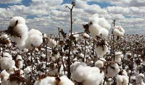 Cotton prices escalate