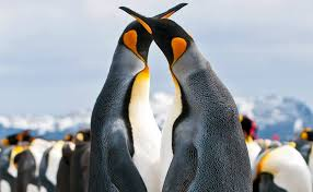 King penguins colony declines massively by 90% over the last 3 decades