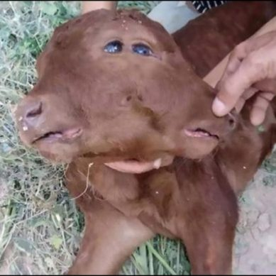 Four-eyed mutant calf born with dual heads and mouths