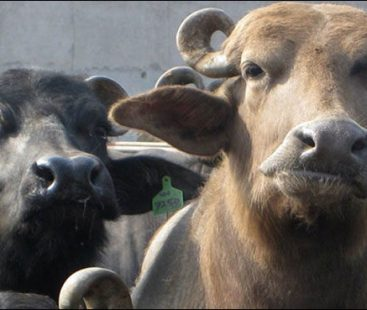 PM House buffaloes auctioned at PM House dairy farm