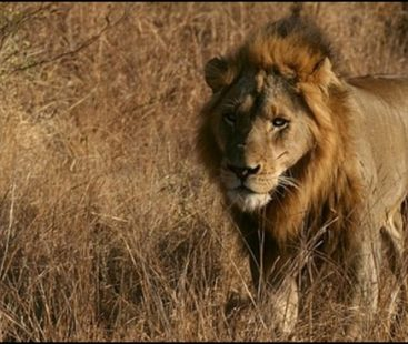 Train kills 3 endangered young lions in Ahmedabad