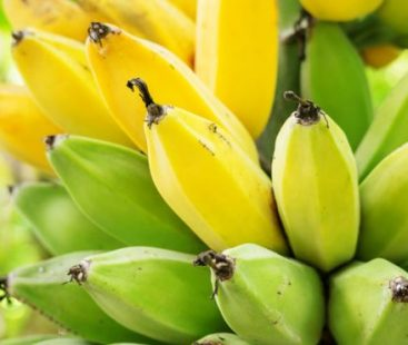 How Holland achieved its first banana harvest without using land