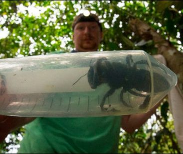 World's largest thumb size bee rediscovered