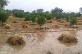 35,000 acres of wheat, crop destroyed by heavy rains in Punjab: agriculture minister