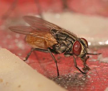 Houseflies attack Karachi