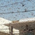 Swarms of locusts descend upon Karachi