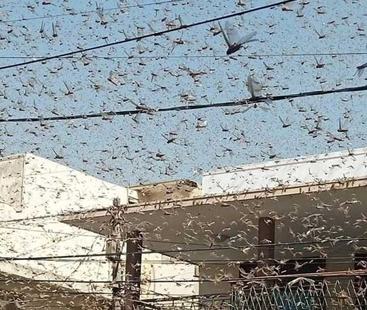Swarms of locusts descend upon Karachi