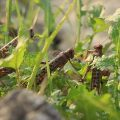 China to help Pakistan eliminate locusts