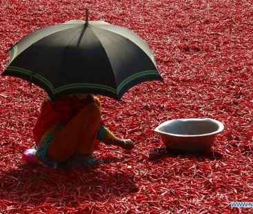 Changing climate threats Sindh's red chilli harvest